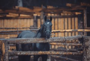 Black horses stay on farm in the pen